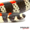 Black Banded Snake