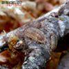 "Porcellio Scaber ""Orin's Calico"" Isopods -- 10 Count"