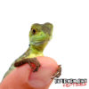 Baby Green Basilisk