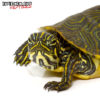 Baby Yellowbelly Slider Turtle