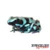 C.B. Green And Bronze Auratus Dart Frog