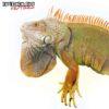 4-5 Foot Green Iguana