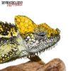 Helmeted Chameleon