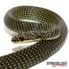 Paradise Flying Snake