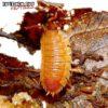 """Porcellio Scaber """"Spanish Orange"""" Isopods -- 10 Count"""