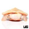 Albino Pinkbelly Sideneck Turtle