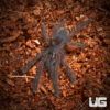 .5 Inch Borneo Black Tarantula