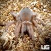 1.25 - 2 Inch Tucson Blonde Tarantula