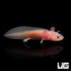 Baby Leucistic Axolotl (1-2 Inches)