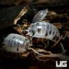 "Porcellio Laevis ""Dairy Cow"" Isopods -- 10 Count"