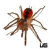 1 - 1.5 Inch Cascada Giant Birdeater Tarantula