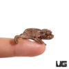 Baby Jackson Chameleon