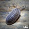 Armadillidium Peraccae Isopods -- 10 Count