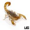 Striped Devil Scorpion