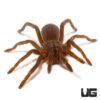 .25 - .5 Inch Cameroon Red Baboon Tarantula