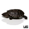 Baby Giant Mexican Musk Turtle