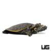 Baby Florida Softshell Turtle