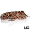 Guyana Redtail Boa
