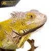 Yearling Hypo Iguana 3