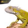 Yearling Hypo Iguana 4