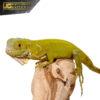 Baby Hypo Iguana