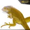 Yearling Hypo Iguana 1