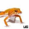 Juvenile Tangerine Leopard Gecko