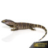 Baby Blackthroat Monitor