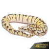 Baby Bumblebee Fire Scaleless Head Ball Python (Male)