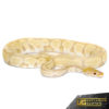 Yearling Bongo Candino Ball Python (Male)
