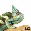 12+ Inch Veiled Chameleon