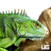 2-3 Foot Green Iguana