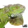 3-4 Foot Green Iguana