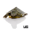 Baby Southern River Cooter Turtle