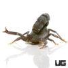 Black Fat Tail Scorpion