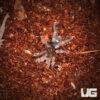.25 - .75 Inch Chiapas Tiger Rump Tarantula