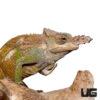 Dwarf Fischer's Chameleon