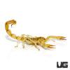 Egyptian Gold Scorpion