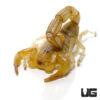 Egyptian Yellow Fat Tail Scorpion