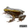 Mint Terribilis Dart Frog