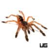 .25 - .75 Inch Orange Tree Spider