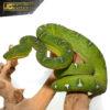 Yearling Emerald Tree Boa