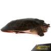 Adult Florida Softshell Turtle
