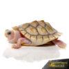 Baby Caramel Pink Red Ear Slider Turtle