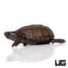 Baby Mississippi Mud Turtle