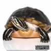Adult Female Peninsula Cooter Turtle