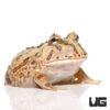 Baby Brazilian Horned Frog