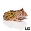 Brown Fantasy Pacman Frog