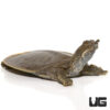 Baby Spiny Softshell Turtle
