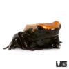 C. B. Orange Splashback Dart Frog